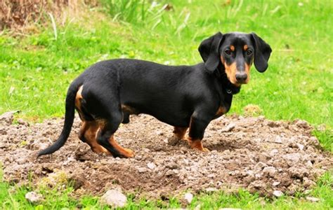 why do dogs dig in their beds digging problem what you can do