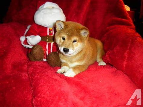 shiba inu puppies for sale in ohio shiba inu puppies for sale in marion ohio classified americanlisted