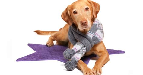 hypothermia in dogs preventing hypothermia in cats and dogs