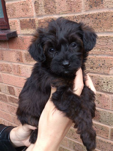 yorkie poo breeders colorado 2 beautiful yorkiepoo puppies tamworth staffordshire pets4homes