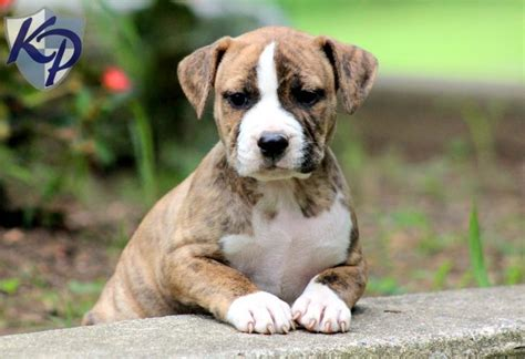 pitbull puppies for sale in iowa 17 best images about my favorite animals on pit bull tiger wallpaper and