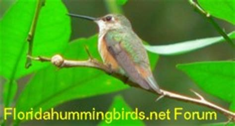 florida hummingbirds