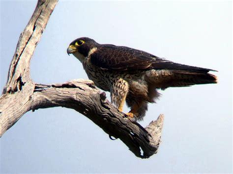 falco pellegrino alimentazione 00001 uccelli falco pellegrino angolo dei bimbi