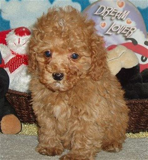 cockapoo puppies for sale ohio 25 best ideas about cockapoo breeders on cockapoo pups for sale cockapoo