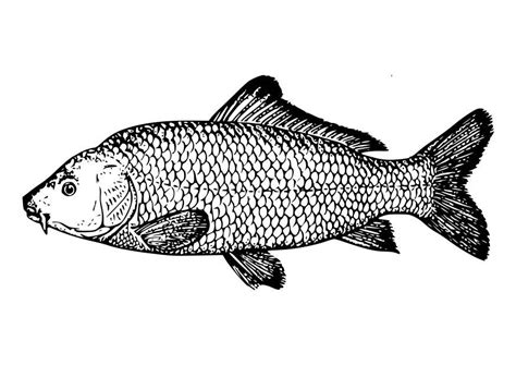 carp fish coloring pages coloring page carp img 18581