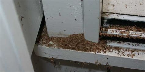 Carpenter Ants In Bathroom by 3 Signs Of Flying Carpenter Ants Venus Pest Company