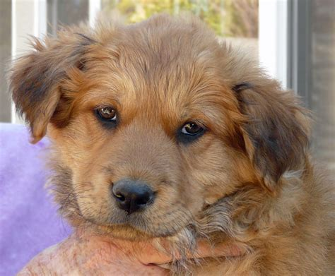 shepherd golden retriever mix golden retriever german shepherd mix