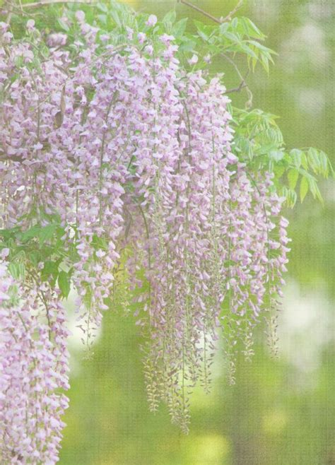 176 best wisteria images on pinterest