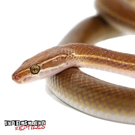 african house snake african house snakes for sale underground reptiles