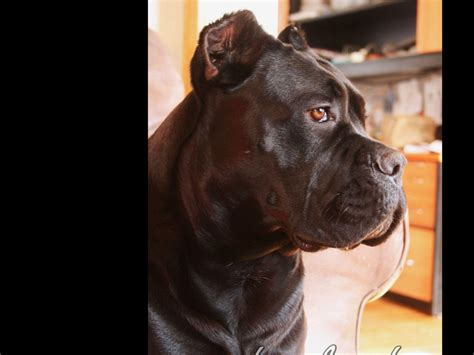 corso puppies for sale in md corso for sale by league kennel corso breeder in maryland american