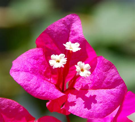 bouganville fiore cura dei fiori