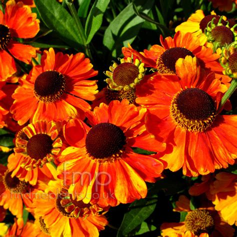 Net Name Search Florida A Large Image Of Helenium Sahinsearly Fl From Plant Encyclopedia
