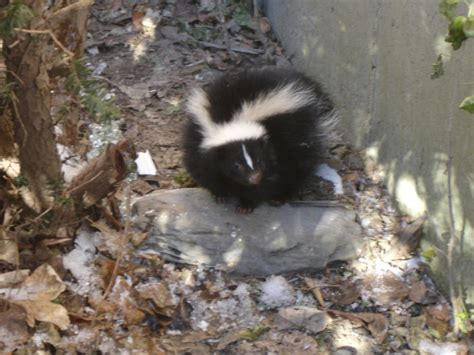 pictures of skunks skunk photos from suburban areas