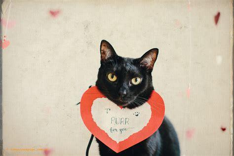 happy valentines day cat happy s day sydney pet photographer