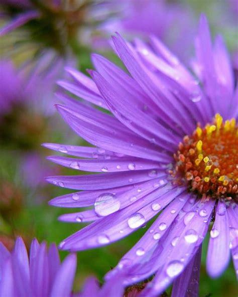 Purple Aster Flowers With Rain Drops Jpg Hi Res 720p Hd Aster Flower Gallery