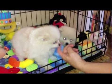 pomeranian puppies in los angeles tiniest and cutest teacup pomeranian puppy funnydog tv