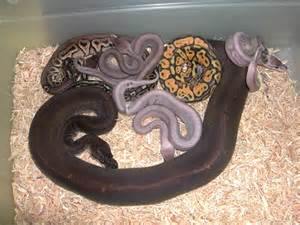 Ball python family tree