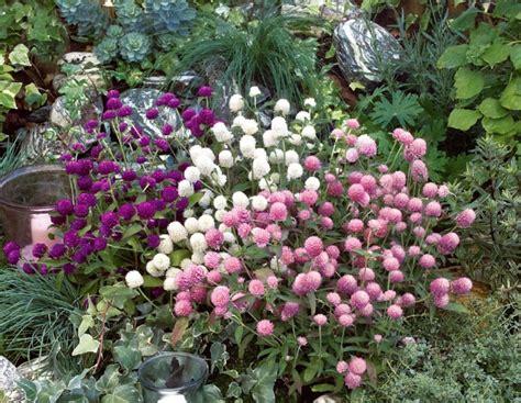 Kancing Bunga Besar cara menanam dan merawat bunga kancing gomphrena