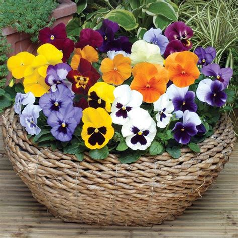 viole pensiero in vaso viola pensiero piante da giardino coltivazione viole