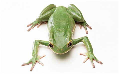 imagenes de ranas blancas fondos de pantalla ranas el fondo blanco animalia
