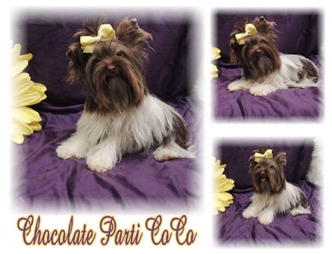 yorkie puppies for sale in inland empire yorkie puppies akc chocolate and parti carriers breeds picture