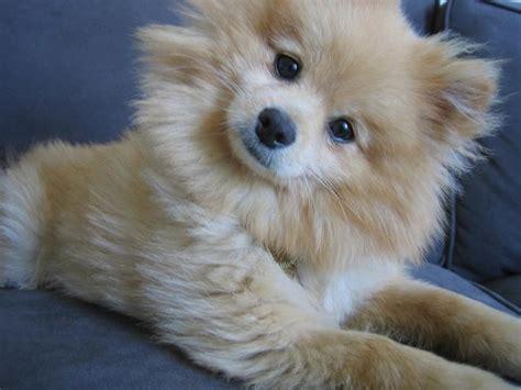 confused puppy confused looking poneranian puppy jpg hi res 720p hd