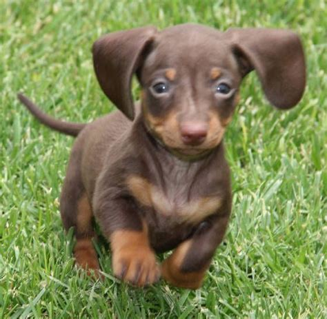 weenie puppies for sale 17 best images about doxies on weenie dogs dapple dachshund and