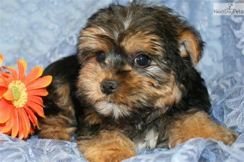 yorkie poo intelligence yorkiepoo yorkie poo puppy for sale near st louis missouri 8ef4100a 5011