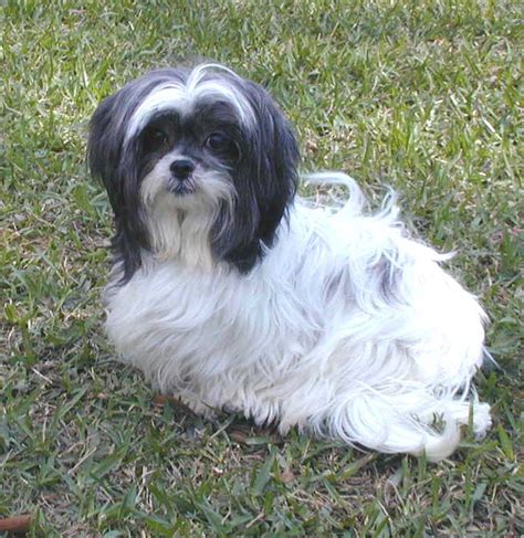 local shih tzu rescue shih tzu rescue lhasa apso rescue allergy breeds picture