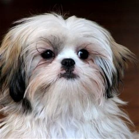 shih tzu behaviors shih tzu behavior reviews viewpoints