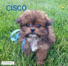 shorkie puppies for sale in ohio 1000 ideas about shorkie puppies for sale on shorkie tzu puppies for