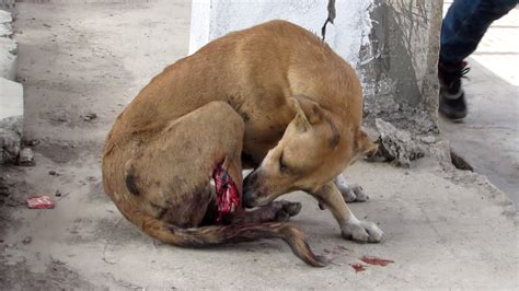 cutting dogs tails leg cut by sweetest still wags