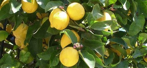 limoni in vaso coltivazione come coltivare una pianta di limone in vaso verde