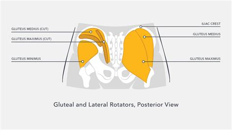 glute muscles diagram how does barre3 power your glutes and balance your
