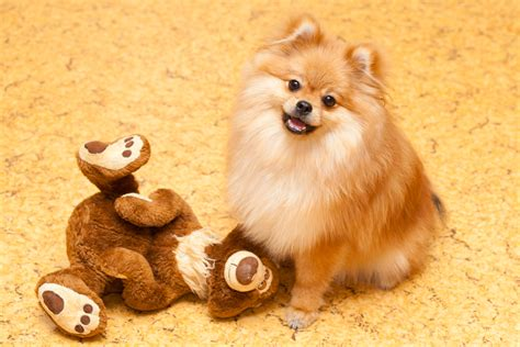 dogs that look like 11 dogs that look like teddy bears pictures and