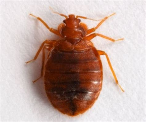 bed bugs and pregnancy pregnant bed bug pictures bangdodo