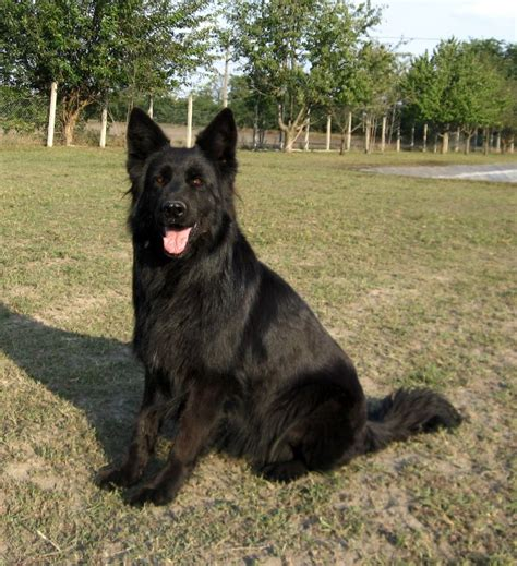 pictures of german shepherds german shepherd breeds pictures breed pictures small large