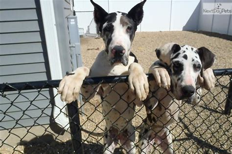 great dane puppies iowa great dane puppies offered by owner breed great dane gender breeds picture