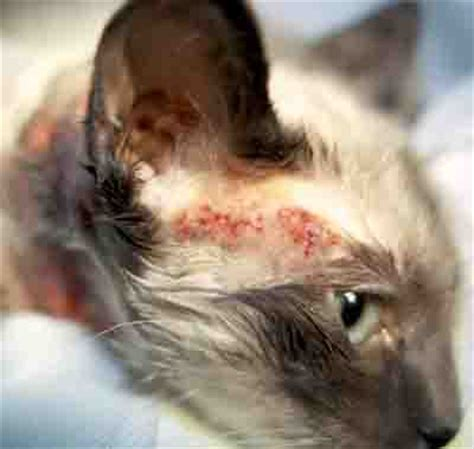pattern hair loss in cats cat allergy symptoms pictures causes descriptions and