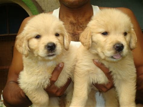 golden retriever puppies for sale in bangalore price golden retriever puppies for sale bangalore india free classifieds muamat
