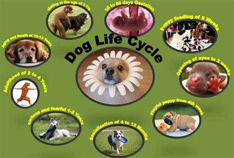 lifespan of dogs cycle