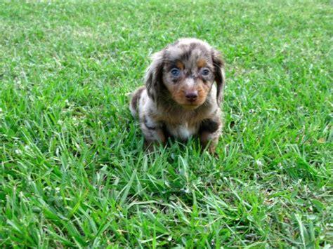 dachshund puppies for sale in ga friendly blue miniature dachshund puppies for sale in at atlanta
