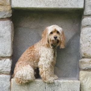 multi poodle lifespan cockapoo breed information devoted to doodles