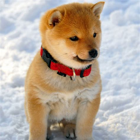 shiba puppy and now ridiculously adorable shiba inu puppies