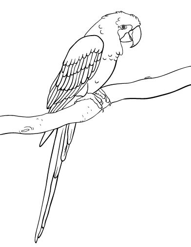 Printable Macaw Coloring Page Free Pdf Download At Http Macaw Coloring Page