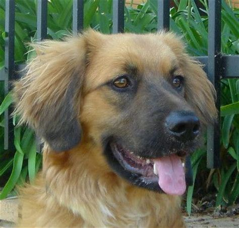 golden retriever shepherd german shepherd golden retriever mix i will this one day things i want