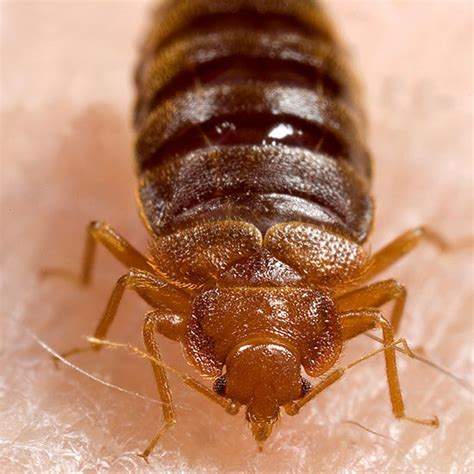 eliminating bed bugs how to get rid of bed bugs