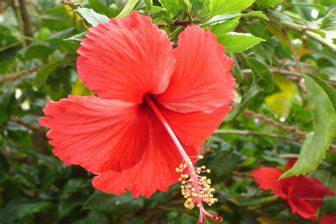 ibisco fiori ibisco un fiore per l africa
