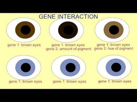 eye color genes inheritance gene interaction in eye color