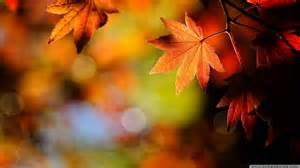 fall maple leaf wallpaper